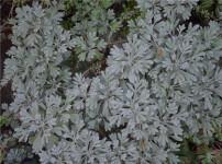 芙蓉菊的图片