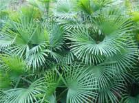 棕竹的图片