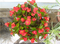 四季海棠的图片