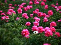 芍药花的图片