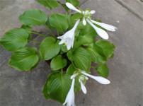 玉簪花的图片