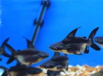 成吉思汗鱼的图片