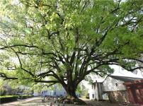 香樟树的图片