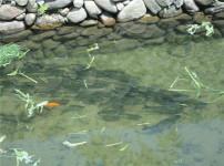 养鱼风水的图片