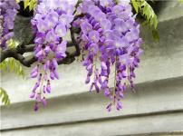 紫藤花的图片