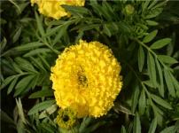 万寿菊的图片