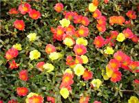 太阳花的图片