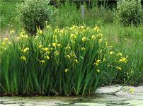 水生植物的图片