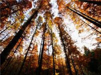 水杉的图片