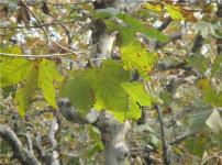 梧桐树的图片