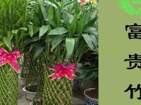 风水植物之怎么养富贵竹