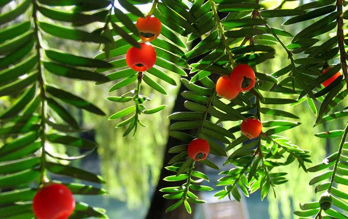 如何养殖红豆杉?它有何作用